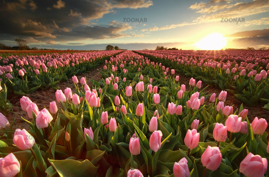 sunset over pink tulip field