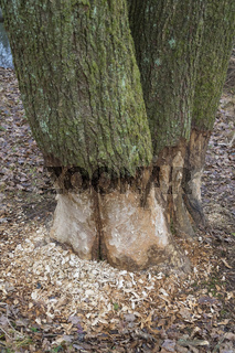 Tree trunk showing teeth marks from gnawing by european beaver