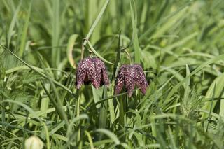 Schachblume, Fritillaria meleagris, Schachbrettblume