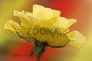 Rose farbenfroh