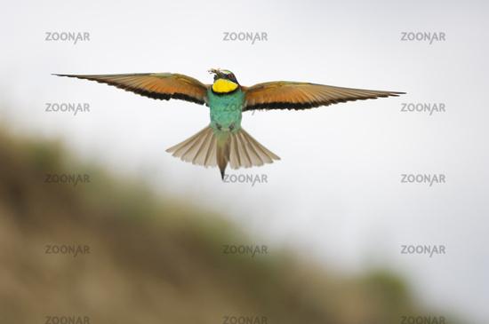 Bee-eater, Merops apiaster