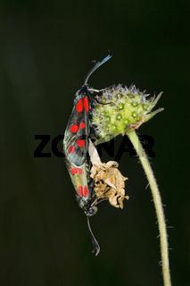 Blutströpfchen, Sechsfleck-Widderchen (Zygaena filipendulae),  bei der Paarung - Six-spot Burnet (Zygaena filipendulae) copulation