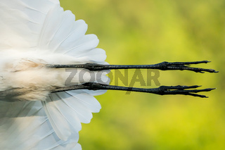 Great Egret Closeup