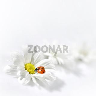 ladybug and chamomile flower