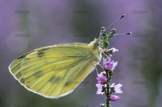 Green-veined White, the caterpillar is green and well camouflaged