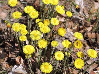 Blüten des Huflattichs, Tussilago farfara