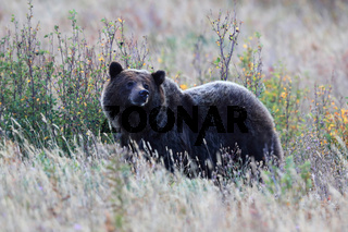 Grizzly Bear  Glacier NP Montana USA