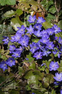 Hepatica nobilis, Leberblümchen, Anemone hepatica