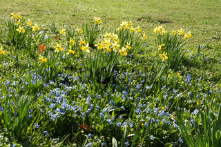 Narcissus pseudonarcissus, Scilla siberica