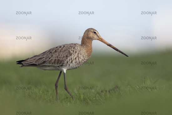 low point of view... Black-tailed Godwit *Limosa limosa*