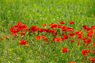 Klatschmohn - red corn poppy flowers