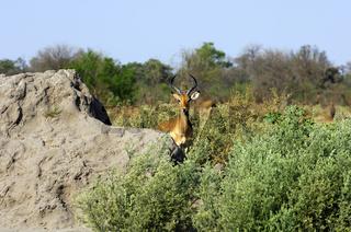 Impala Antilope, Moremi National Park, Botswana