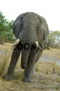 Ausgewachsener Afrikanischer Elefantenbulle