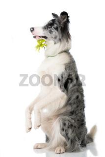 Border Collie mit Blume