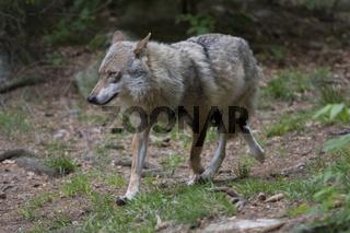 Wolf, Canis lupus, NP Bayerischer Wald, Bavarian forest national park