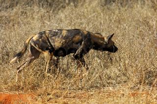 Weiblicher Afrikanischer Wildhund (Lycaon pictus) auf der Pirsch