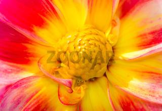 Detail of a daliah flower blossom