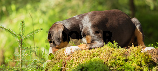 Appenzeller puppy is lying and waiting