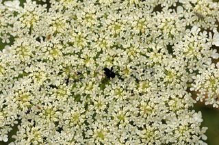 weissen Blütendolde der wilden Möhre