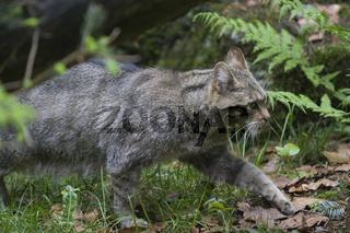 Wildkatze, Felis silvestris, Wild Cat, NP Bayerischer Wald, Bavarian Forest National Park
