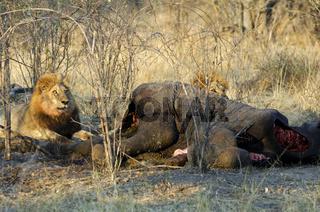 Männlicher Löwe bewacht den Kadaver eines erbeuteten Elefanten