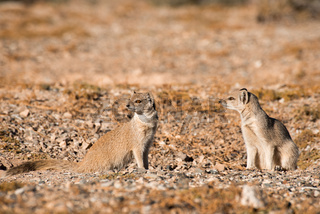 Two Yellow Mongoose