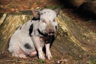 junges Haengebauchschwein im Wald, Wildpark, joung pot-bellied pig in the forest