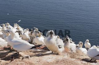Basstölpel auf der Insel Helgoland