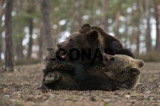 Rangelei unter Geschwistern... Europäische Braunbären *Ursus arctos*, spielende Jungbären