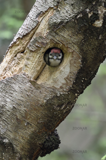 watching out of its circular nest hole... Great Spotted Woodpecker *Dendrocopos major*