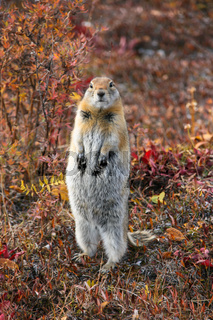 Close up of an Arctic ground squirrel watching attentive in the colorful autumn tundra, Denali Natio