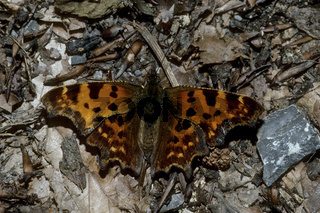 C-Falter, Polygonia c-album, comma butterfly