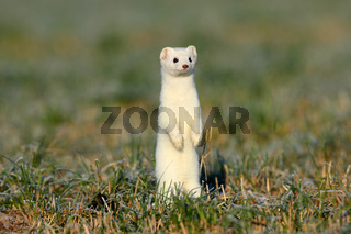 Hermelin  im Winter