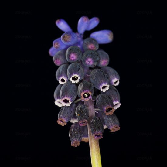 grape hyacinth (Muscari botryoides]