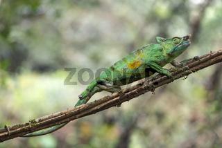 Panther-Chamäleon (Calumma parsonii), Andasibe Nationalpark, Madagaskar