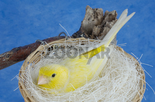 Kanarienvoegel beim brueten, Serinus canaria, Canaries brood , Studio