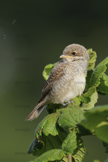 Youngster... Red backed shrike *Lanius collurio*