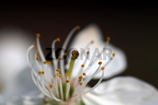 Nahaufnahme einer Kirschbluete