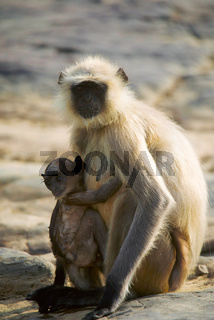Hanuman Langur, Bandhavgarh Tiger Reserve, Madhya Pradesh