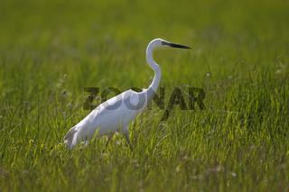 Silberreiher, Ardea alba, great egret