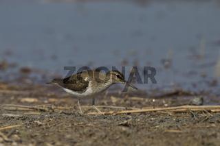 Flussuferlaeufer, Actitis hypoleucos,Common Sandpiper