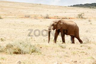 Just one Happy African Bush Elephant