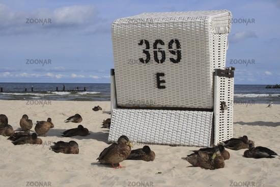 sleeping ducks at the beach of Usedom, Baltic Sea