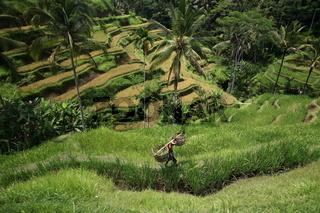 Die bekannten Reisterassen von Tegalalang auf der Insel Bali