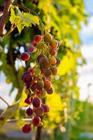 Ripe red grapes on a vine
