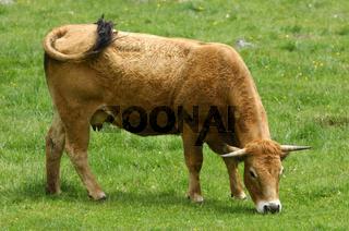 Grasende Aubrac-Kuh