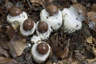 Schleiereule (Cortinarius praestans)