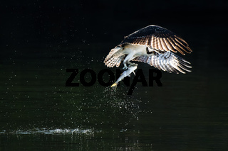 Osprey in Flight With Catch VIII