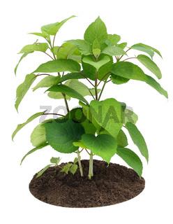 Young sapling, sprout a garden Hydrangea
