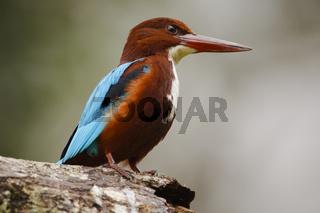 Braunliest - Talangama Wetlands, Sri Lanka